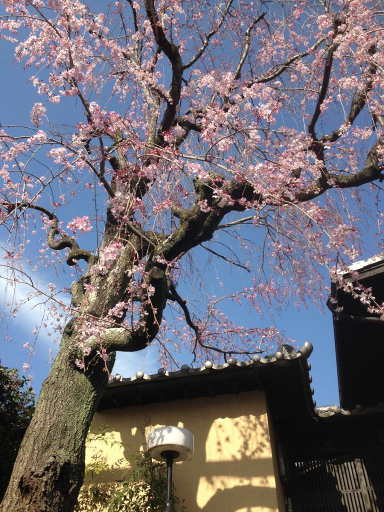 北千里某邸の枝垂れ桜