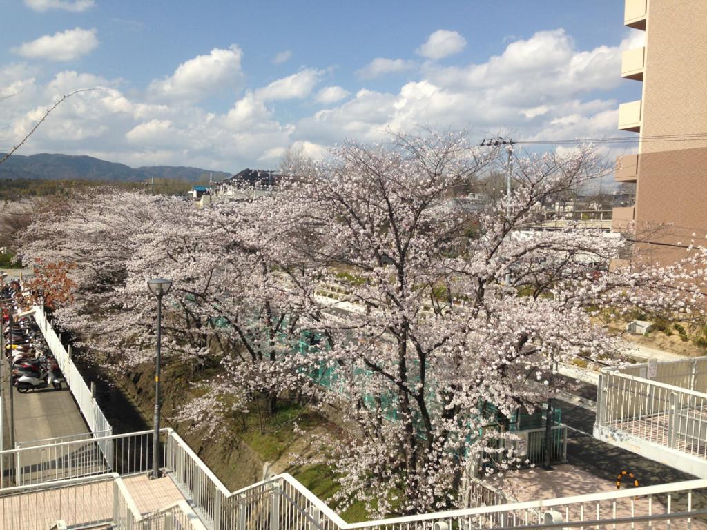 北千里駅前の桜